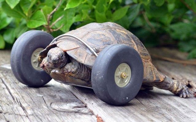 tartaruga-com-rodas-1